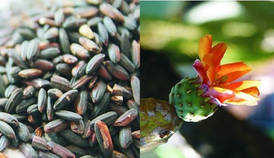 fekete rizs és fügekaktuszvirág